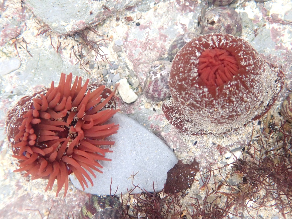 Beadlet anemones at Porth Mear