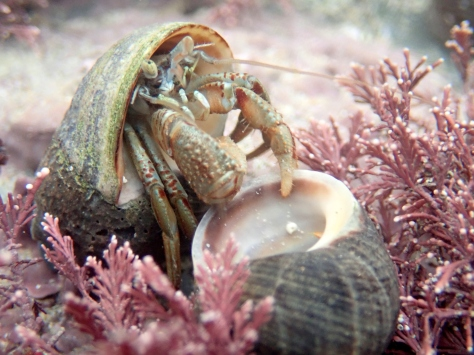 Hermit crab holding on to his mate at Porth Mear