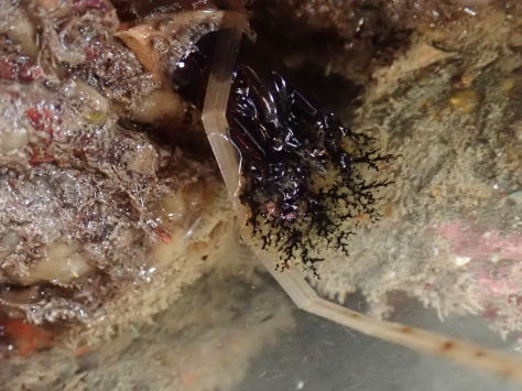 Brown sea cucumber feeding tentacles