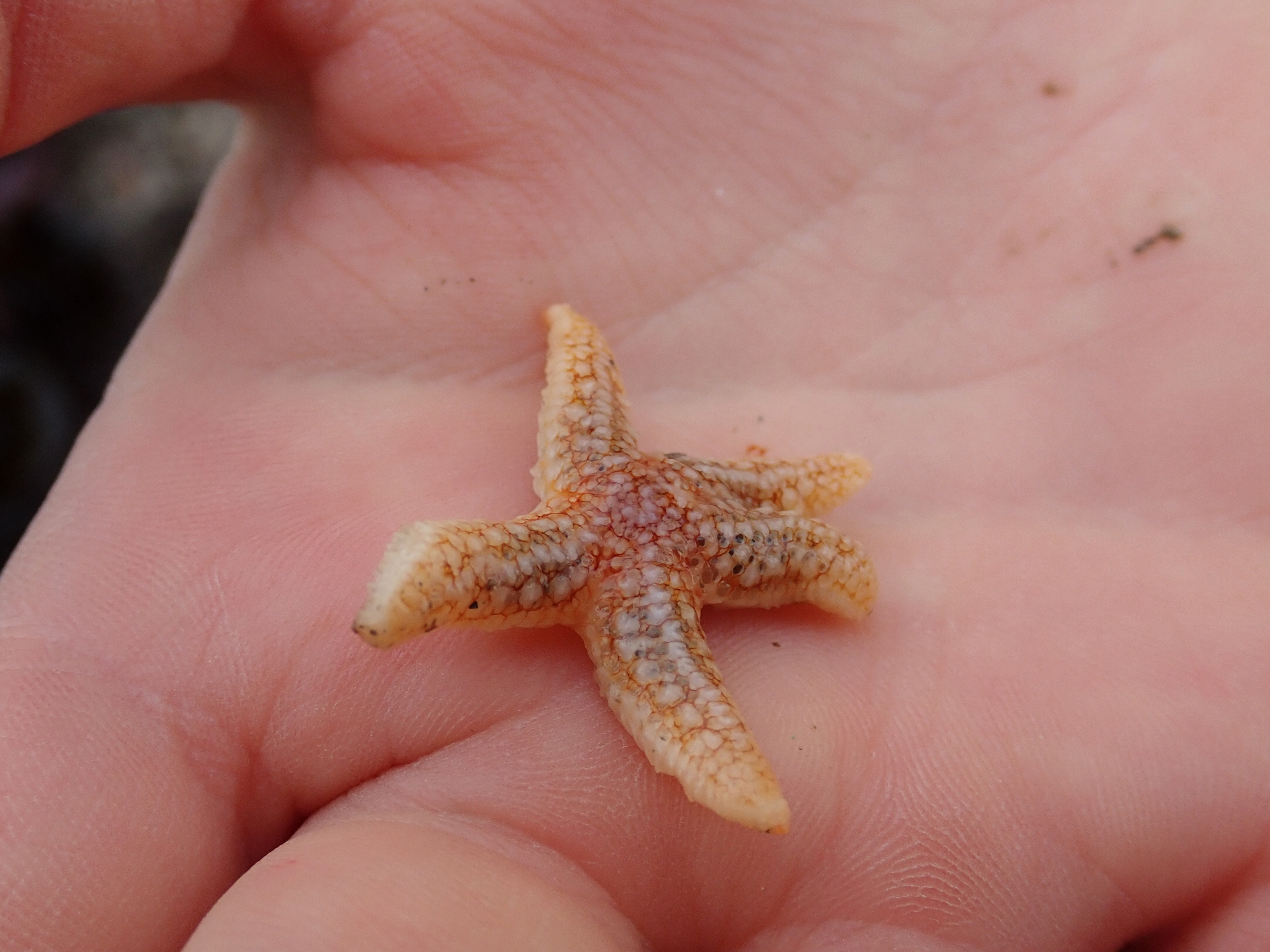 One of several young common starfish we find on Plaidy beach.