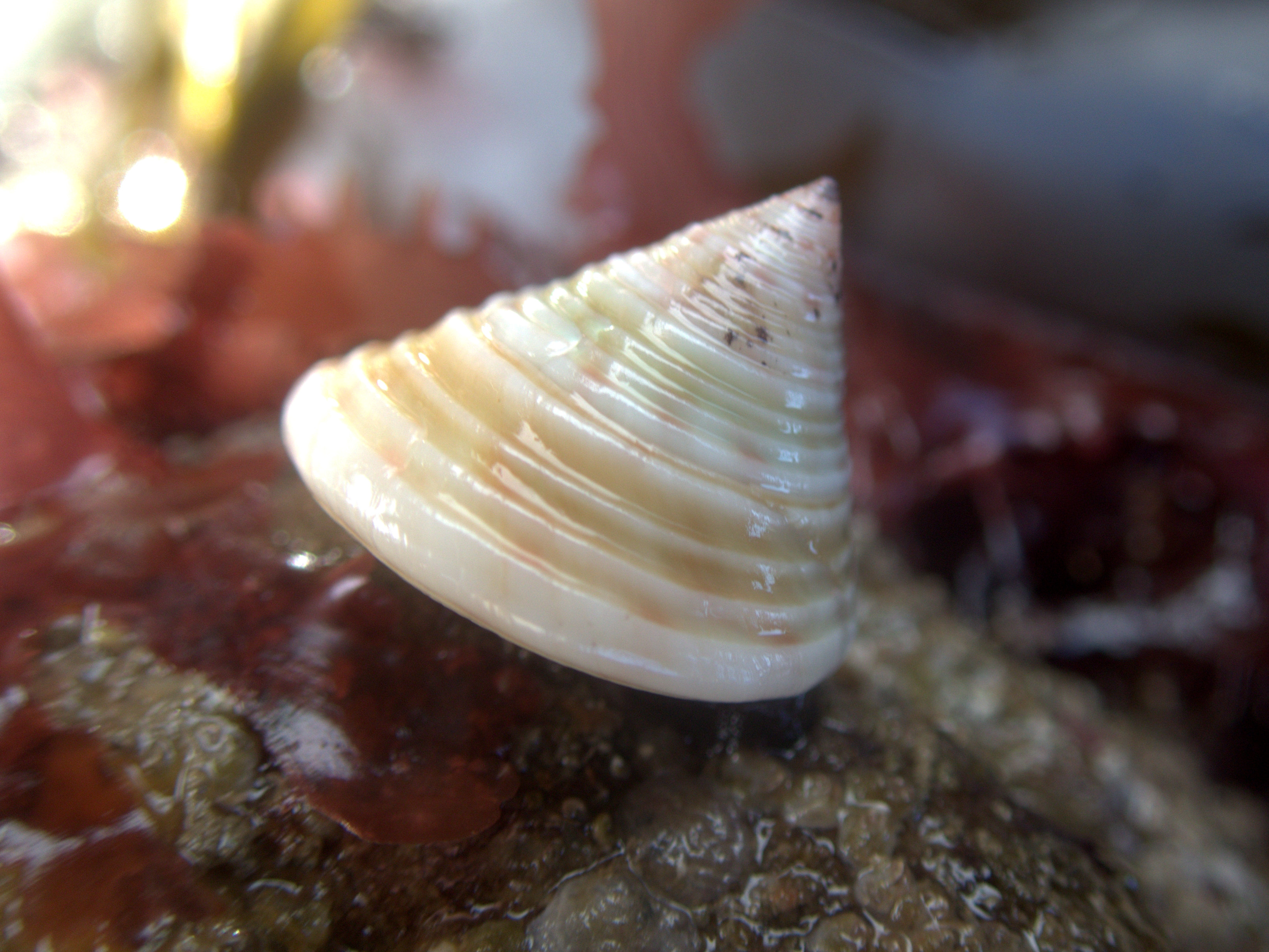 Painted top shells are usually pink, but this beach had many of the white variety