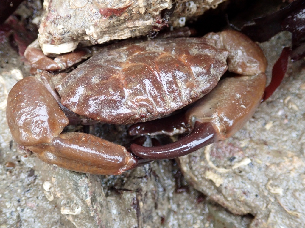 Xantho hydrophilus - the 'furrowed crab'.