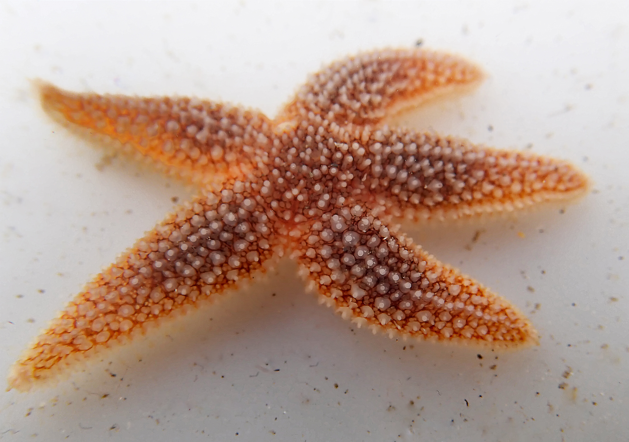 One of the common starfish found - photo courtesy of Liz Barker