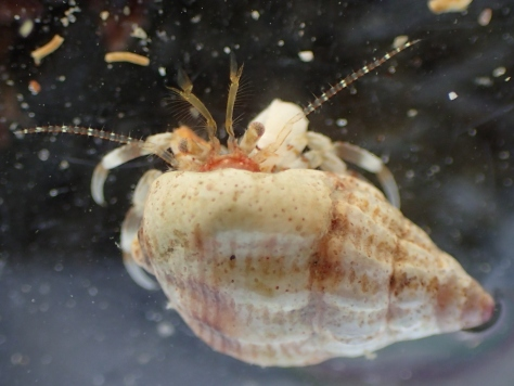Another species of hermit crab - the tiny Anapagurus hyndmanni