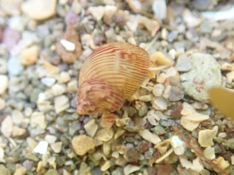 A bright-coloured pheasant shell at Hannafore, West Looe.