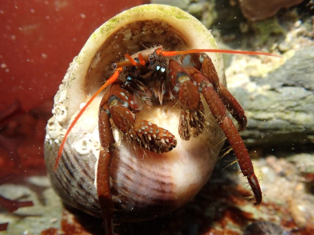 St Piran's Hermit Crab at Hannafore, Looe