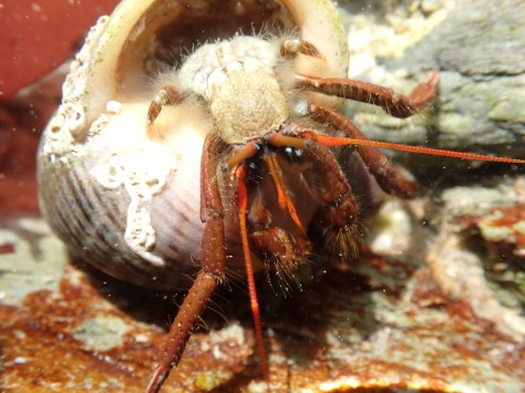 St Piran's crab almost out of its shell, showing its short back legs